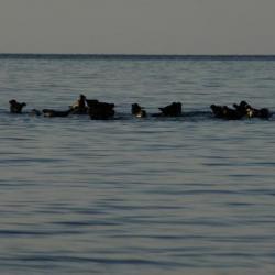 Наши соседи - тюлени